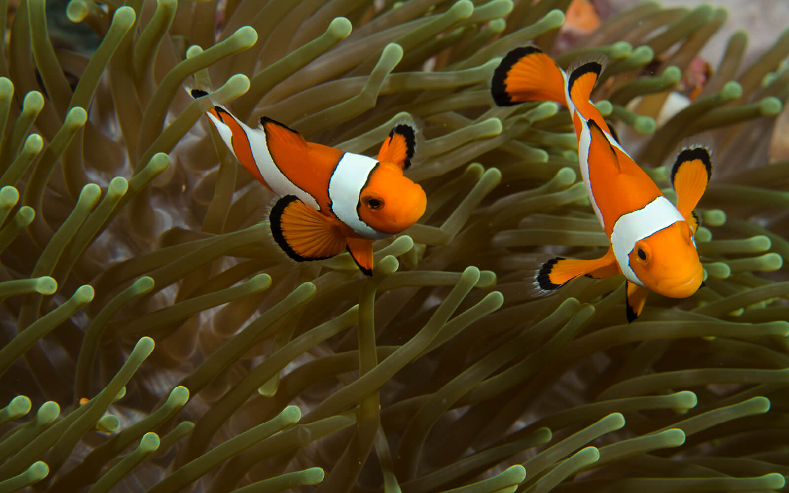 Clownfish in anemone - photo credit: The Ocean Agency