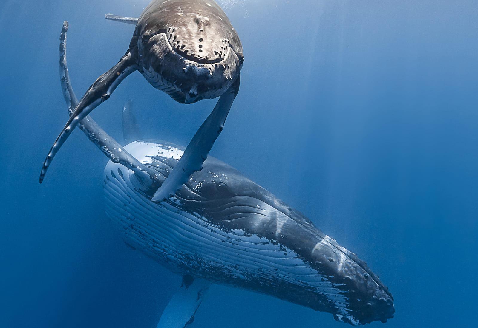 Humpback Whale.
